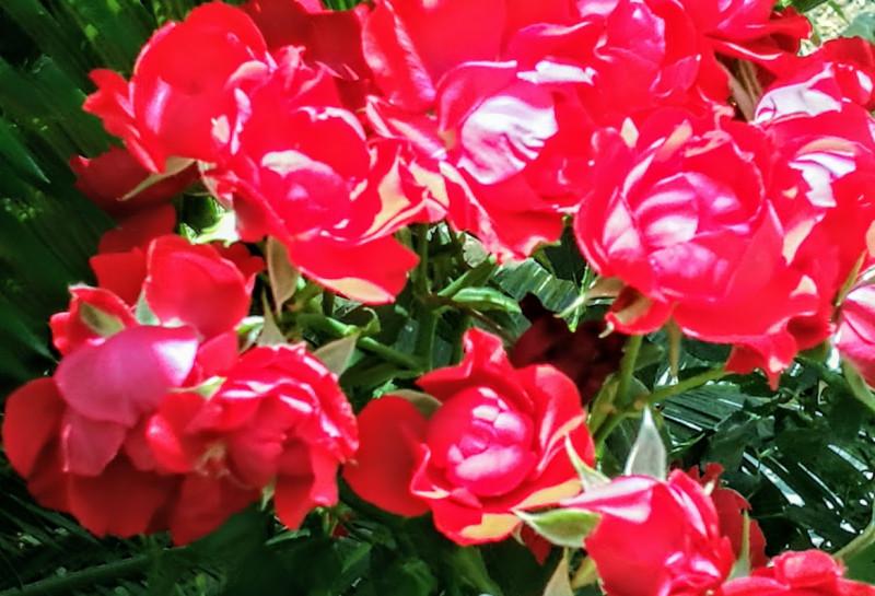 Розовый куст в лучах солнца.