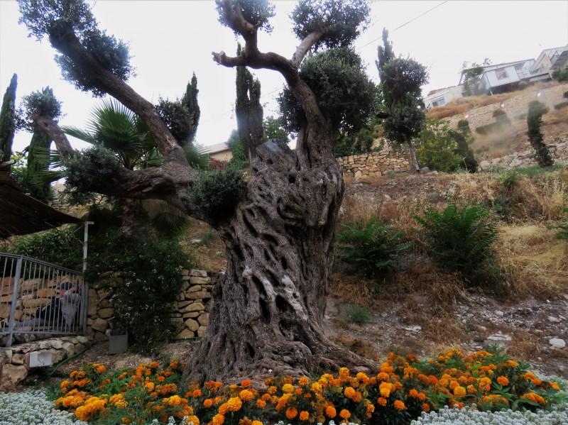 Старое, старое дерево в Старом городе