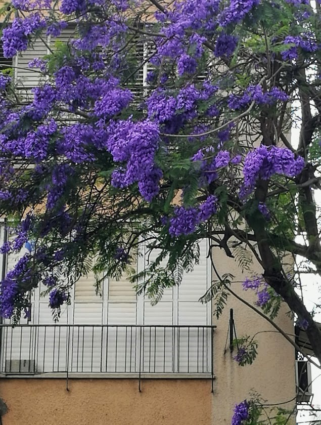 цветет жакаранда