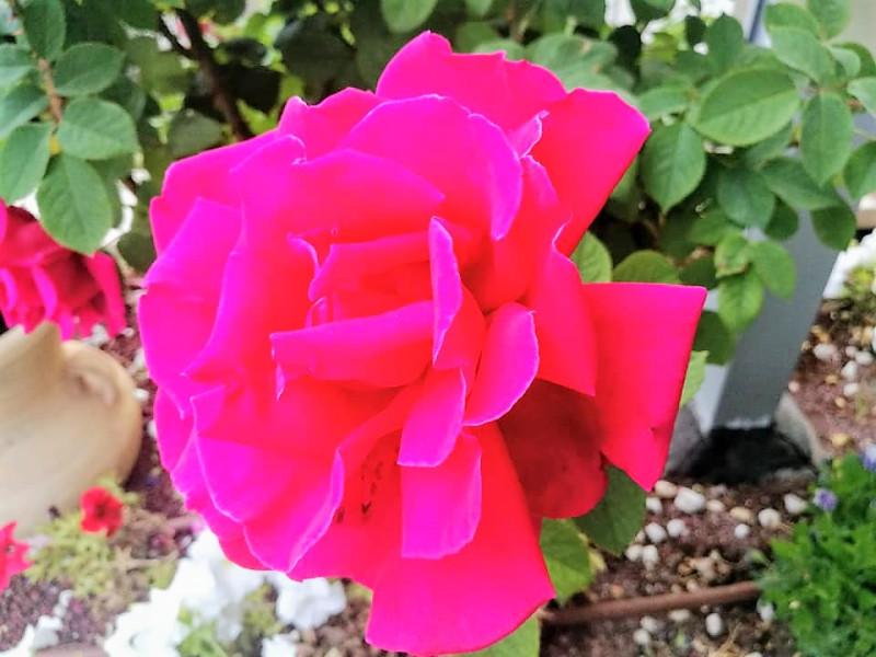 Опять роза