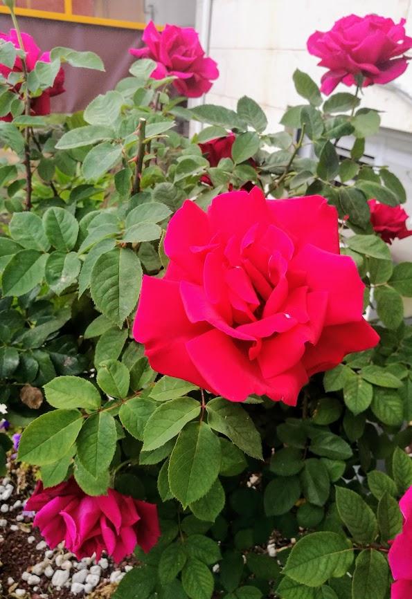Много роз!