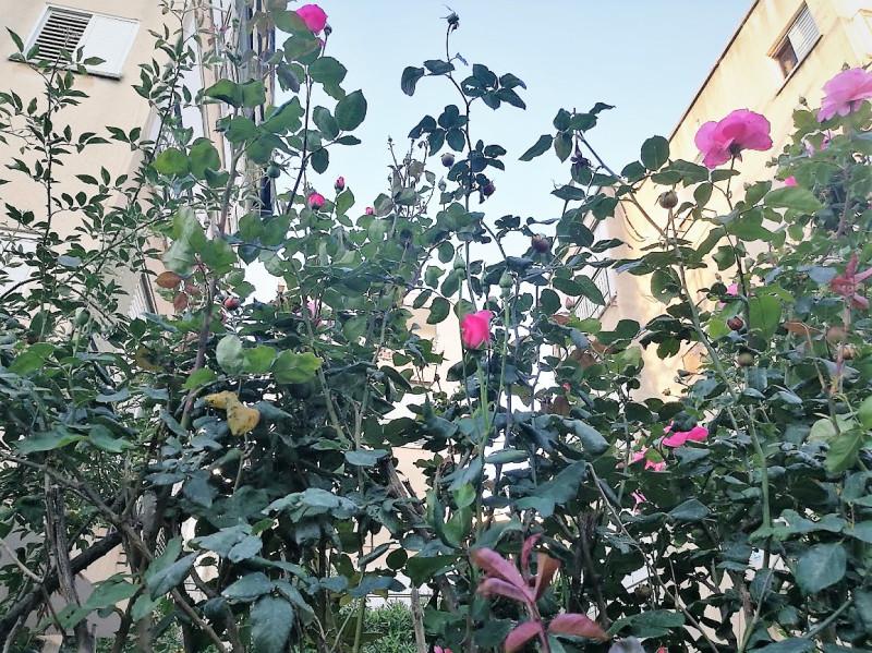 Просто розы