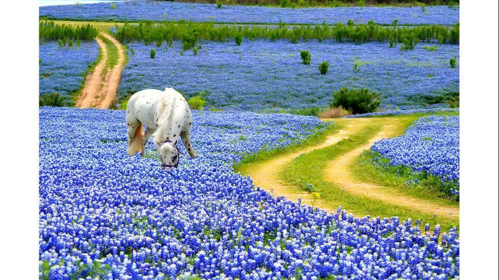 lupine texas