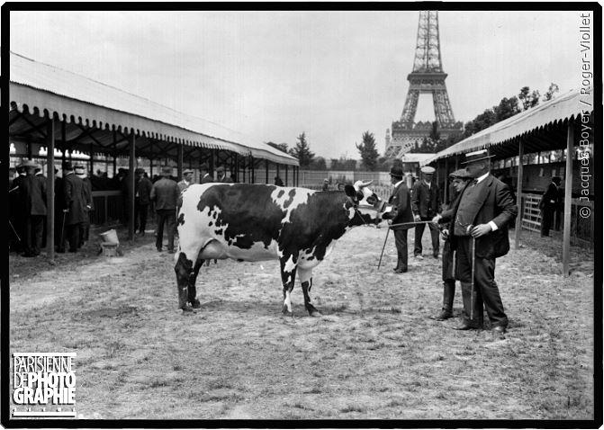 Vache bretonne au concours agricole de Paris en 1912
