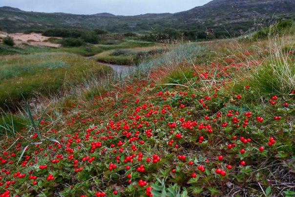 Почему преобладают многолетние растения в тундре