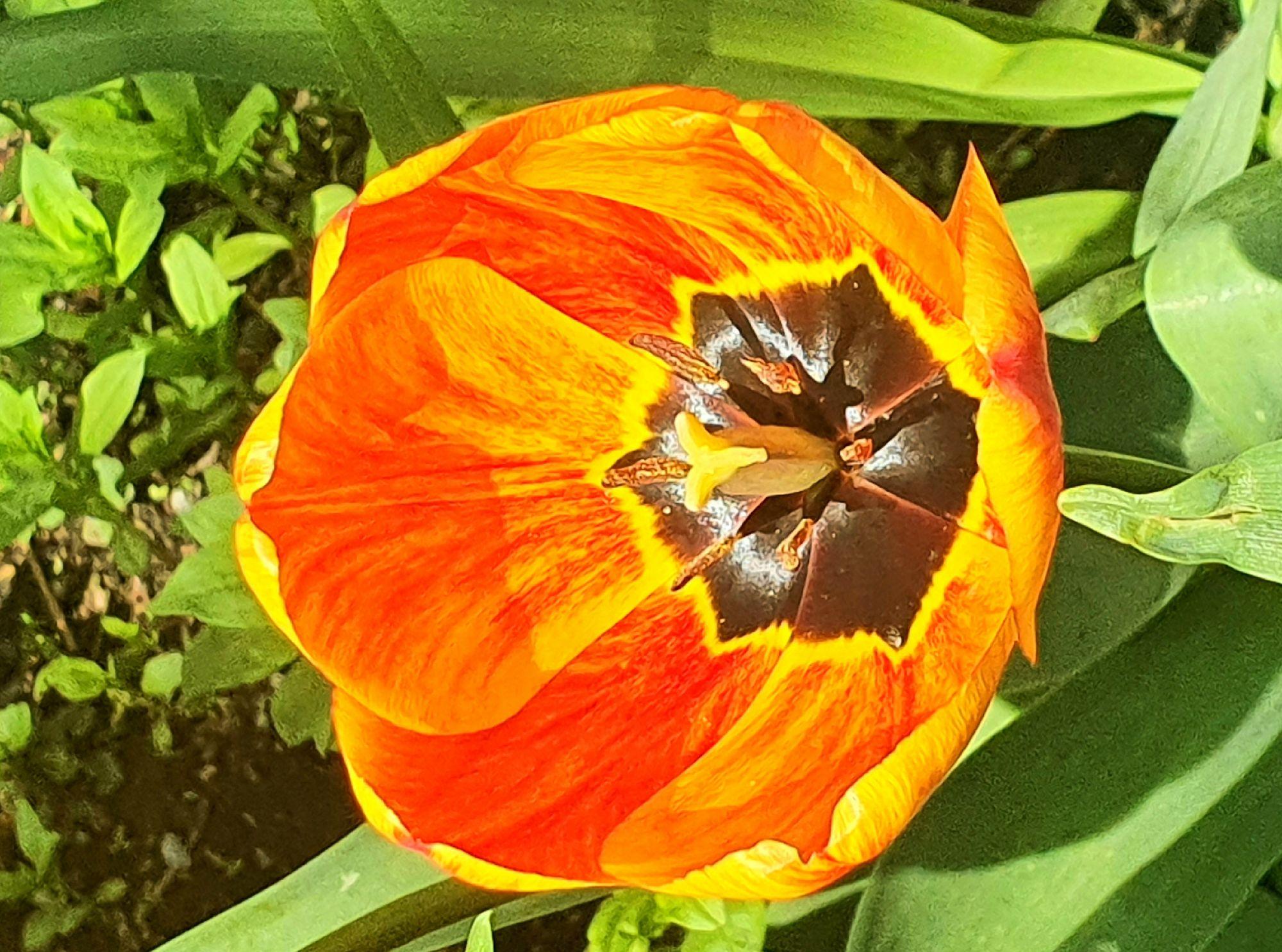 Этот тюльпан, конечно, не совсем жёлтый. Наполовину :)