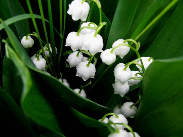 lily of valey