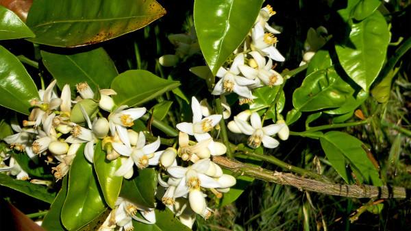 orange-blossom_030417_wallp