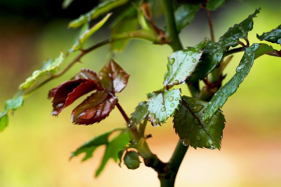 rose 200312-62