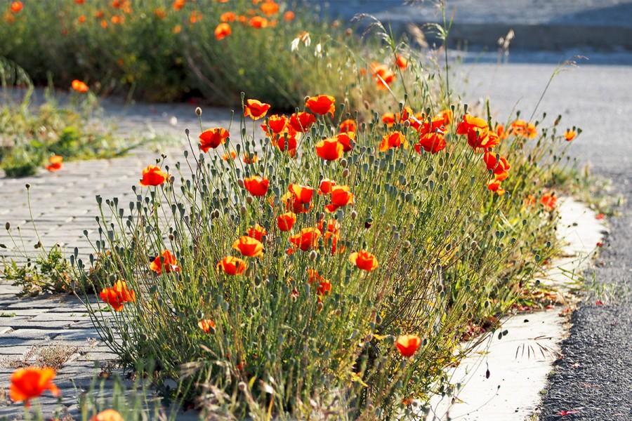poppies beachside 210426 3270