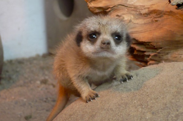 the_most_adorable_baby_meerkat_photos_ever_put_online_640_16