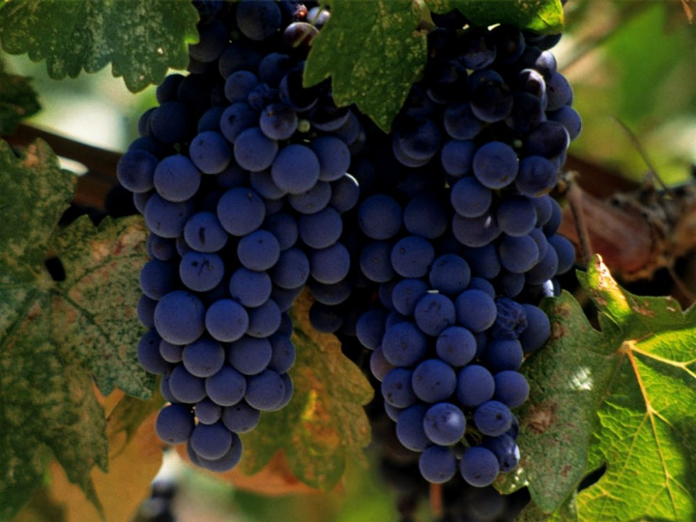 Merlot_Vineyard_Grapes,_Napa_Valley
