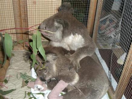 Cuddling Koalas ~ Burn victims bond