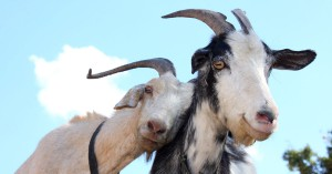 animals-farms-goats-pets