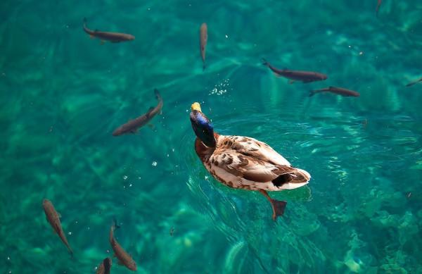 Утка по-черногорски: «идите жрать, пожалуйста!»