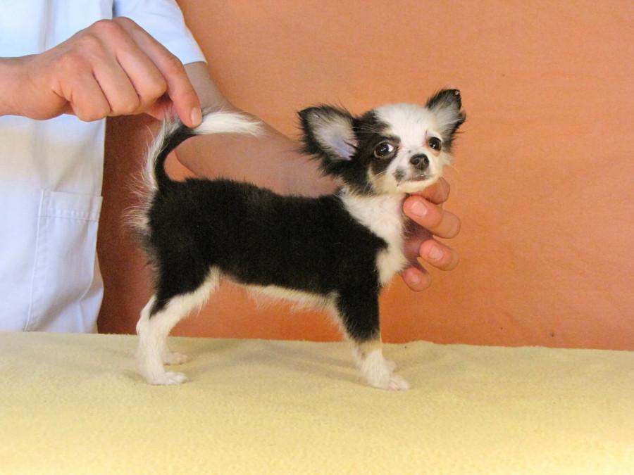 Покупаю щенка в Мексике...  247687_900