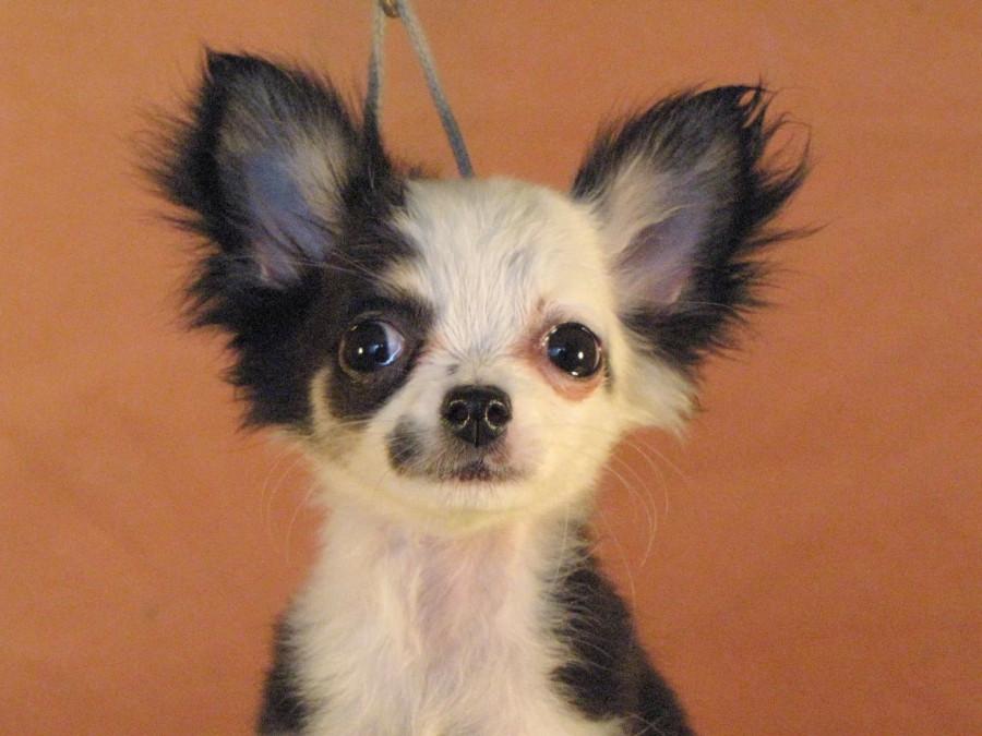Покупаю щенка в Мексике...  248053_900