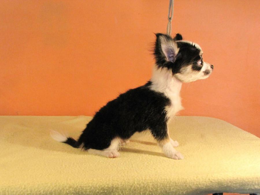 Покупаю щенка в Мексике...  248156_900