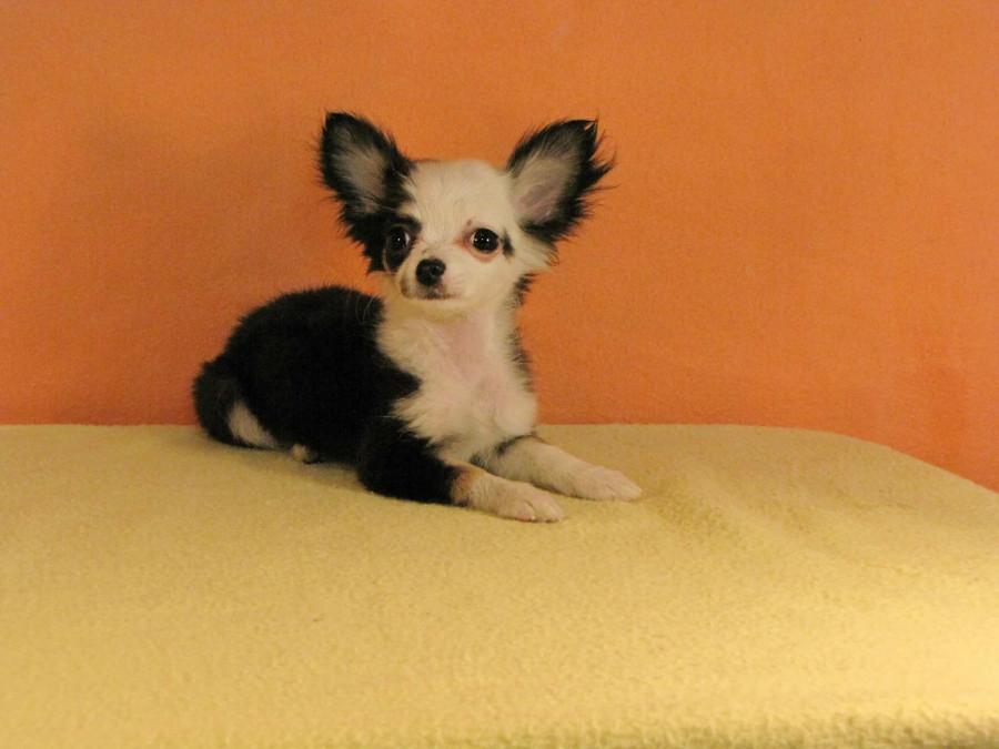 Покупаю щенка в Мексике...  248408_900