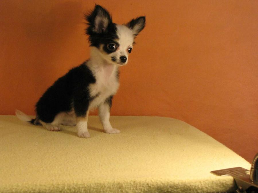 Покупаю щенка в Мексике...  248638_900