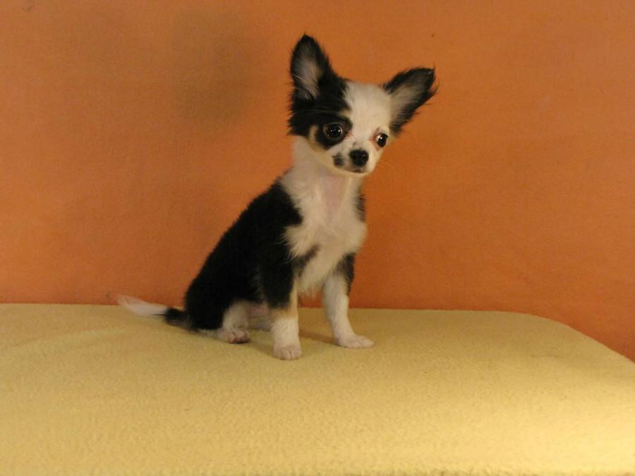 Покупаю щенка в Мексике...  248920_900