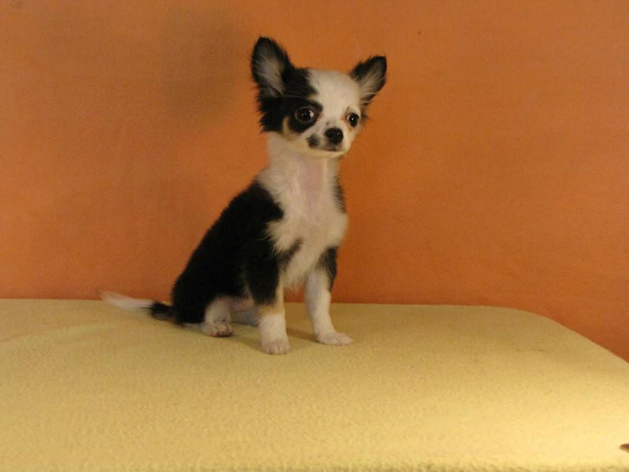 Покупаю щенка в Мексике...  249280_900