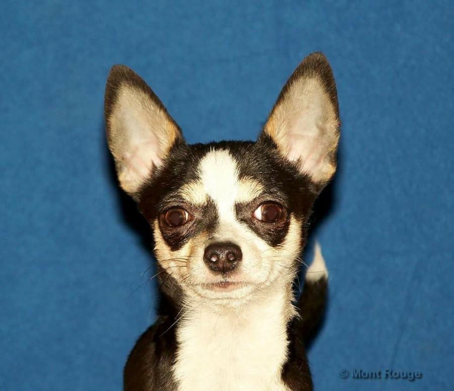 Покупаю щенка в Мексике...  250476_900