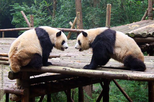 panda_fight_3A.jpg