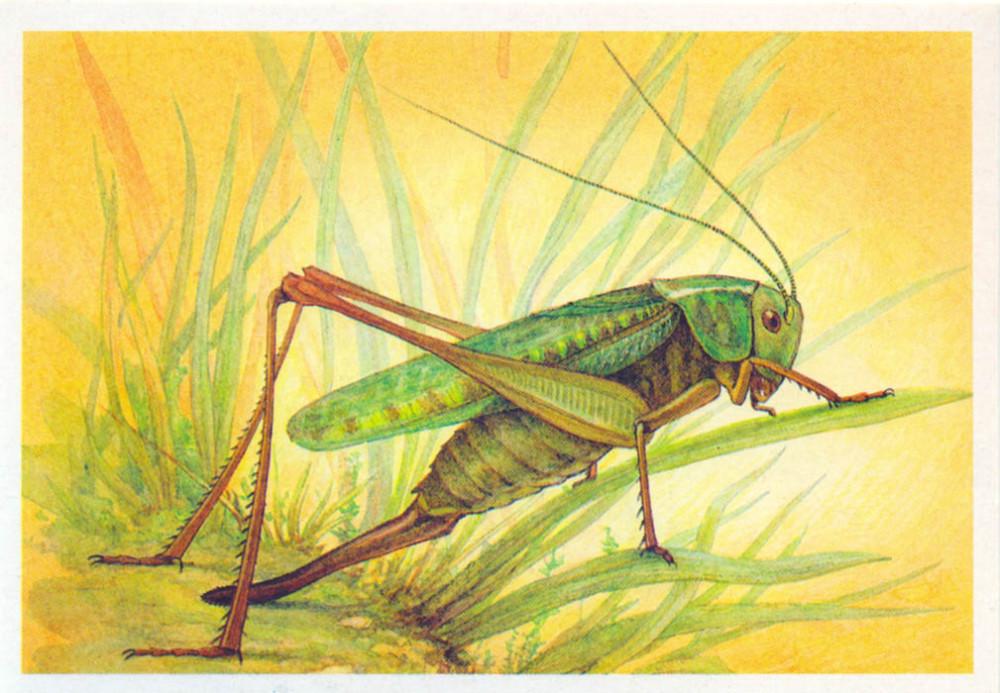 Картинка саранча для детей