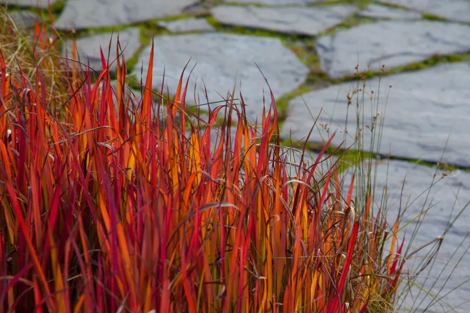 Трава Imperata cylindrica 'Red Baron'.  JHVEphoto / Getty Images