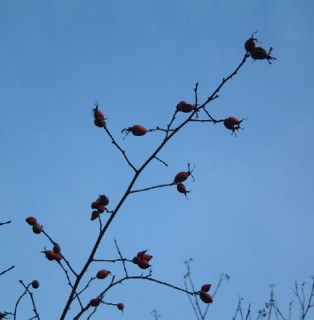 Rosehips in December