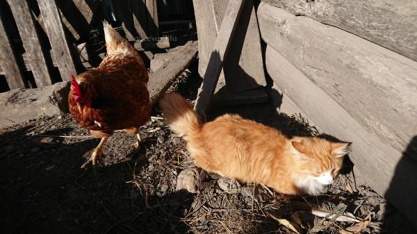 1 кот Малыш и куры 2.jpg