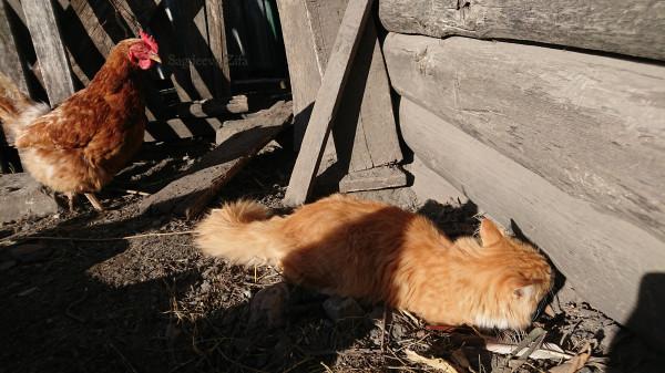 1 кот Малыш и куры.jpg