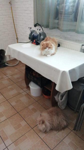 Как кот Малыш ездил по кошачьим делам к персидской кошечке Лизе :) IMG-20210208-WA0013.jpg
