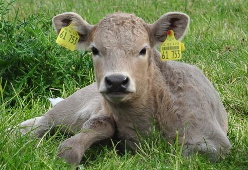 Cow puppy