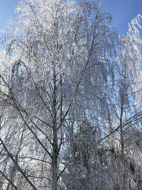 hoarfrost_trees1_500w.jpg