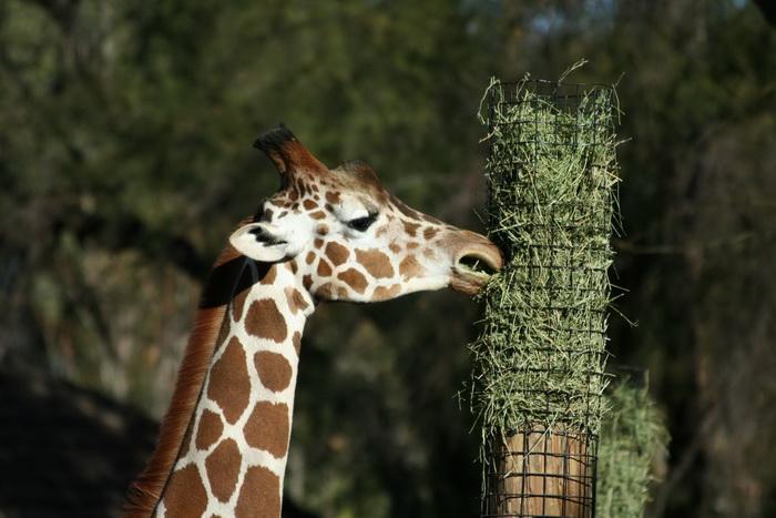 жираф Мариус