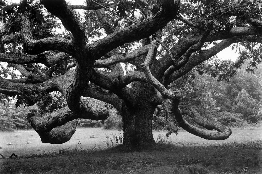 Giant oak tree on Martha's Vineyard by Alfred Eisenstaedt, North Tisbury, Massachusetts, 1969