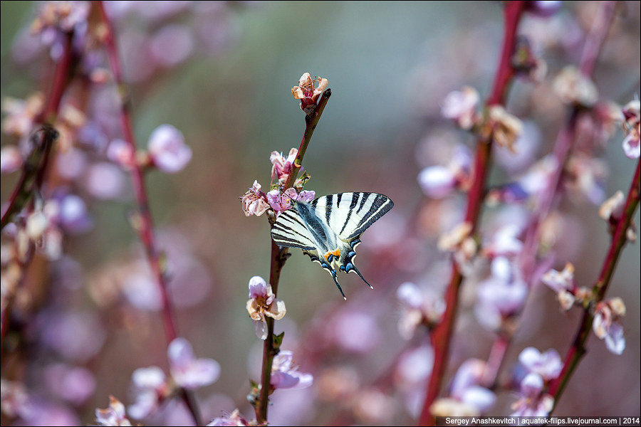 персик, Крым, цветение персиков