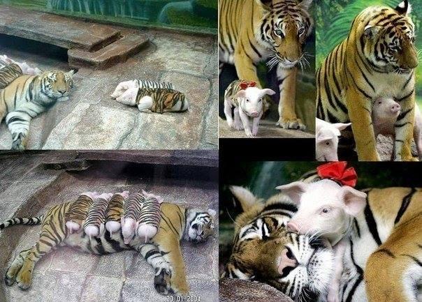 История одной тигрицы