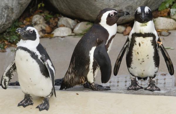 Глупые пингвины оказались не такими уж глупыми