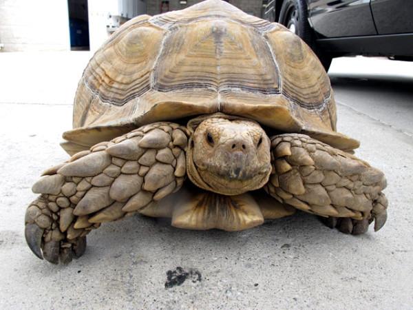 Калифорнийская полиция устроила погоню за черепахой