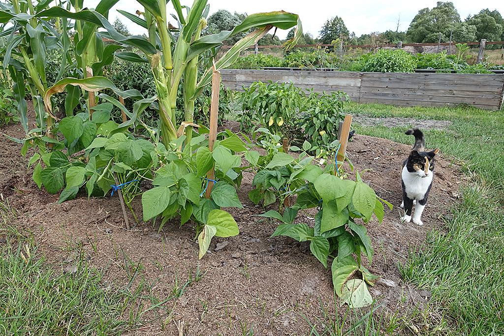 После кукурузы можно сажать 33