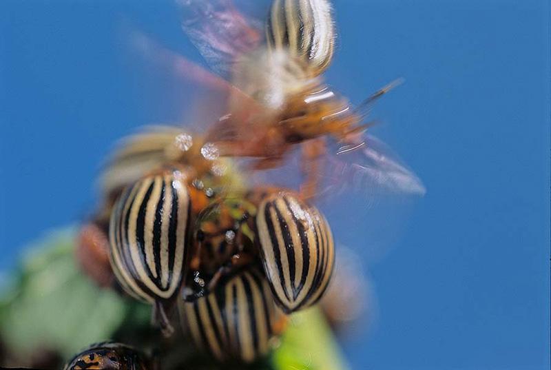 Beetle9_NShpilenok