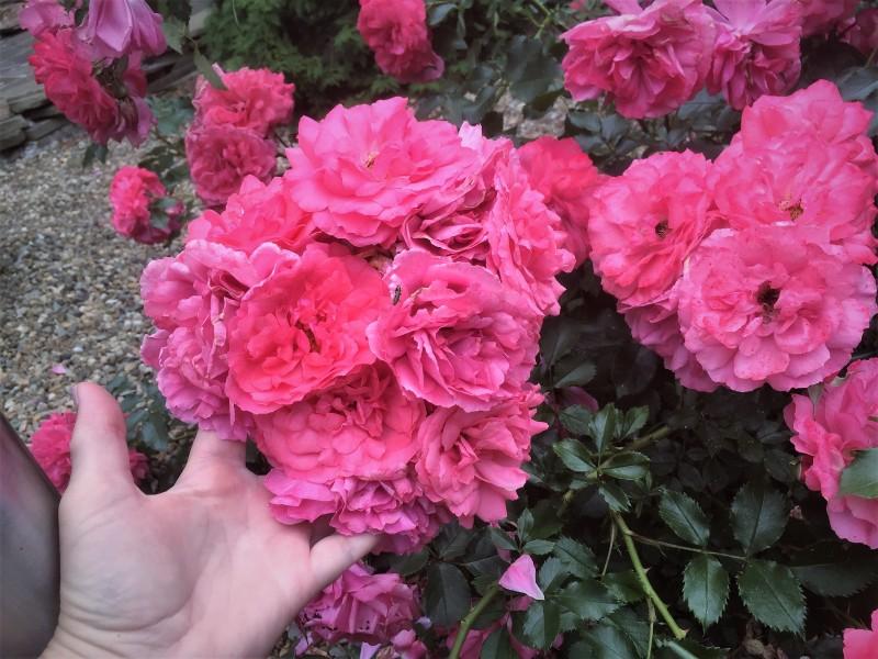 Колокольчики мои, цветики степные.. Обожаю колокольчики, развожу разные , всякие.