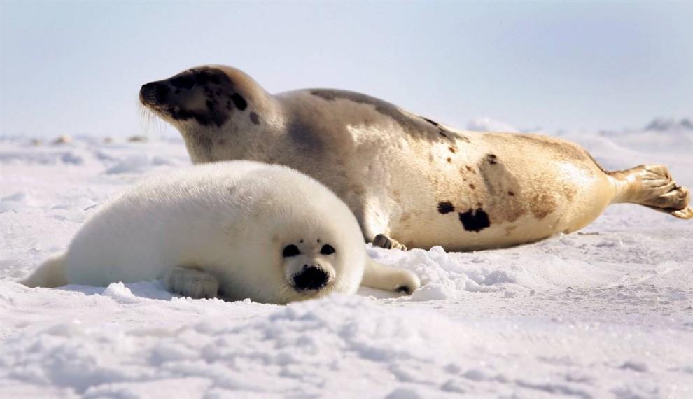 Канада: убийство тюленей ради материального обогащения.