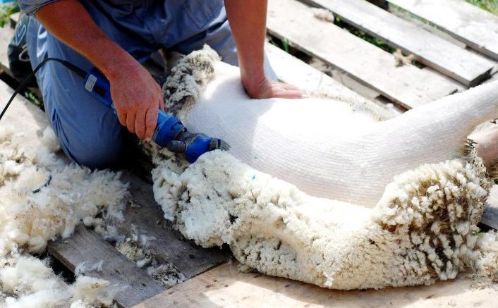 Животноводы Калмыкии остриги 60% поголовья овец