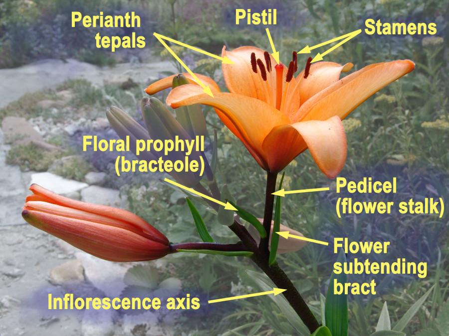 Lilium asiaticum prophyll Engl copy (1)