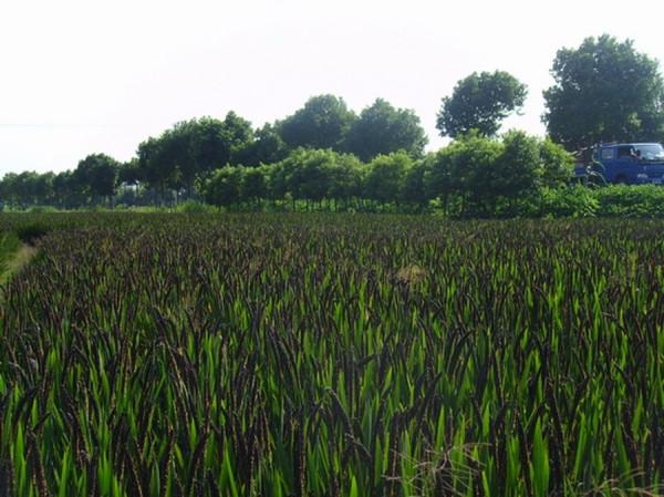 рис поле (Копировать)