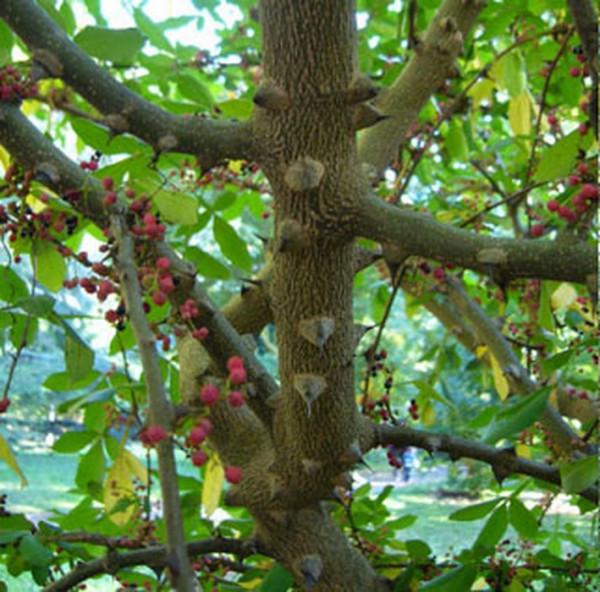 sichuan_pepper_tree_1_1 (Копировать)